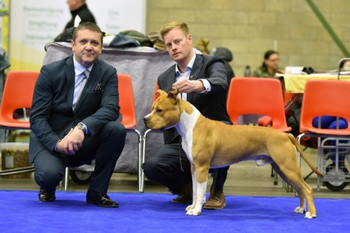 American Staffordshire Terrier Parastone'S Pull Up My Socks (Scotch) - Genk'16