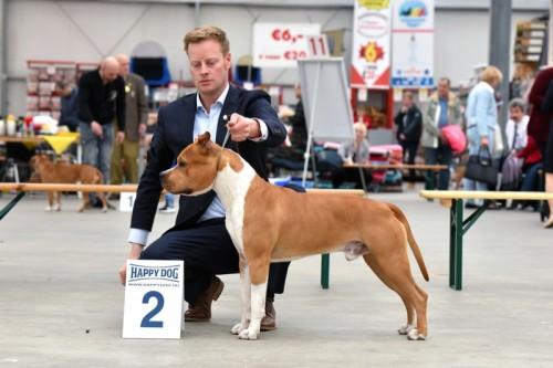 American Staffordshire Terrier Parastone'S Pull Up My Socks (Scotch) - Hazerswoude'16