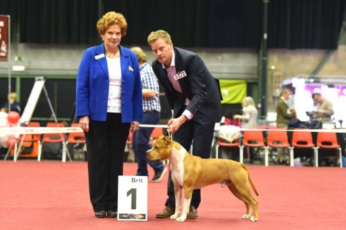 American Staffordshire Terrier Parastone'S Pull Up My Socks (Scotch) - Genk Nat..'16