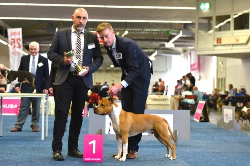 American Staffordshire Terrier Parastone'S Pull Up My Socks (Scotch) - Europasieger'16