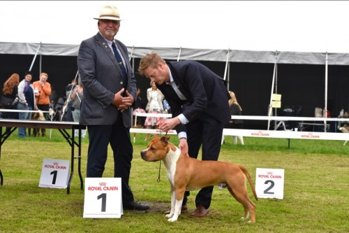 American Staffordshire Terrier Parastone'S Pull Up My Socks (Scotch) - Tilburg'16