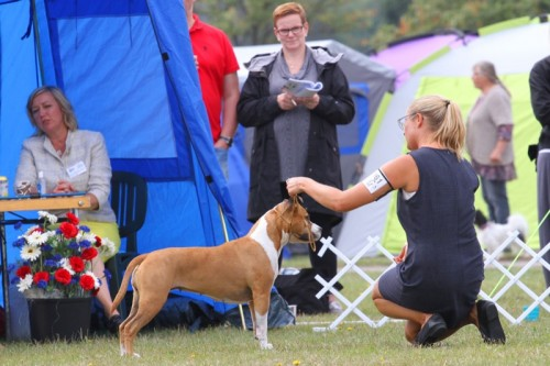 American Staffordshire Terrier Parastone'S Because Its Me (Chili) - Norrköpping'16