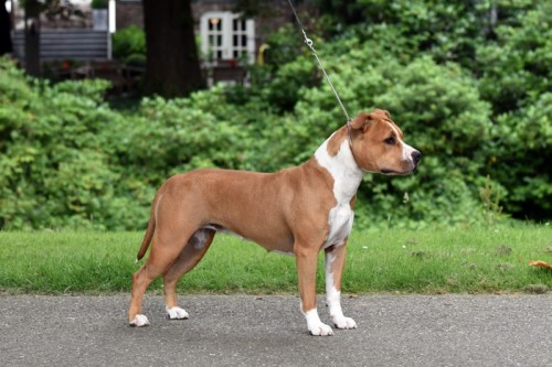 American Staffordshire Terrier Parastone'S Sweet Like Chocolate (Coco) -  Roermond'16