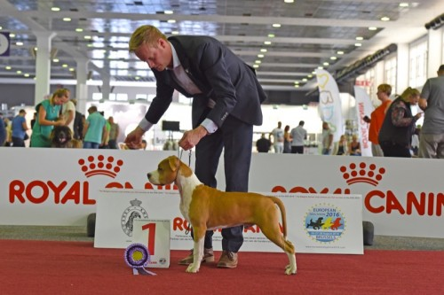 American Staffordshire Terrier Karballido Staffs No Pain No Gain (Marley) - EDS Brussels'16