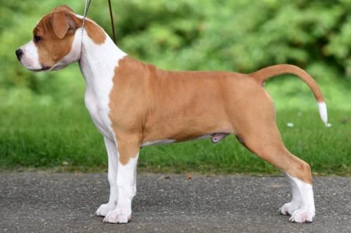 American Staffordshire Terrier Karballido Staffs No Pain No Gain (Marley) - Roermond'16