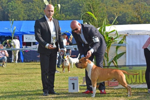 American Staffordshire Terrier Parastone'S Pull Up My Socks (Scotch) - Diemelstadt'16