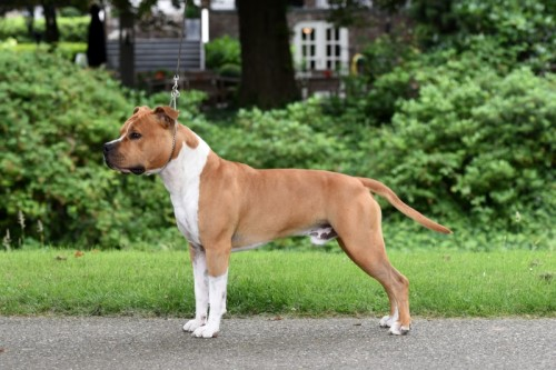 American Staffordshire Terrier Parastone'S Pull Up My Socks (Scotch) - Roermond'16