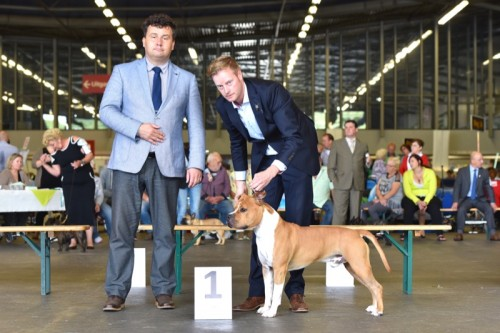 American Staffordshire Terrier Parastone'S Pull Up My Socks (Scotch) - Rotterdam'16