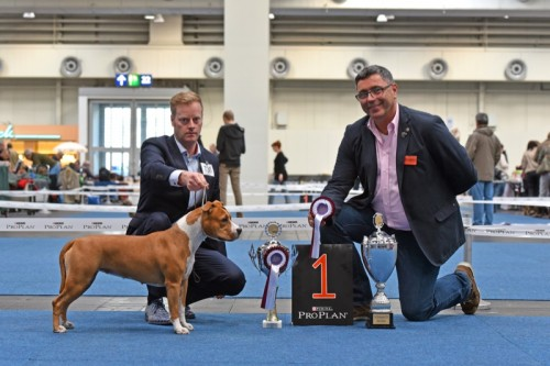 American Staffordshire Terrier Parastone'S Sweet Like Chocolate (Coco) - Hannover'16