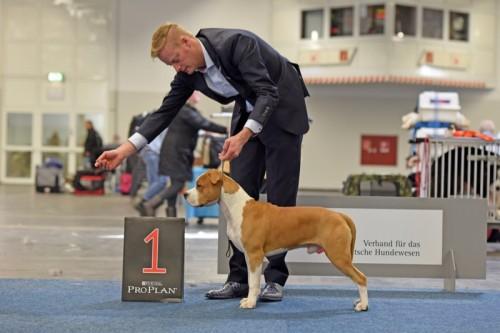 American Staffordshire Terrier Karballido Staffs No Pain No Gain (Marley) - Bundessieger '16