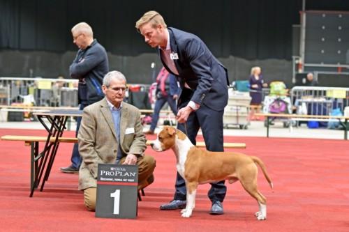 American Staffordshire Terrier Karballido Staffs No Pain No Gain (Marley) - Groningen'17