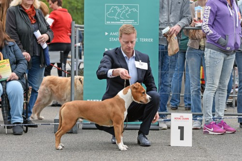 American Staffordshire Terrier Parastone'S Sweet Like Chocolate (Coco) -  Neumünster'17