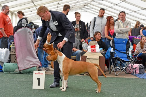 American Staffordshire Terrier Parastone'S Pull Up My Socks (Scotch) - Neunkirchen'17