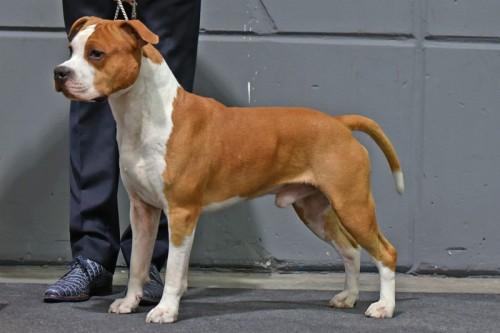 American Staffordshire Terrier Karballido Staffs No Pain No Gain (Marley) - Rotterdam'17