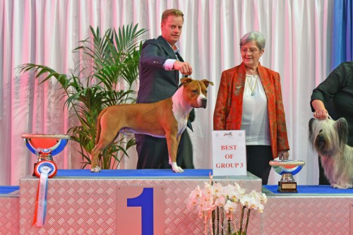 American Staffordshire Terrier Parastone'S Not For Sale (Jackson) - Luxembourg'17