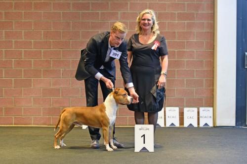 American Staffordshire Terrier Parastone'S Not For Sale (Jackson) - Leuven'17