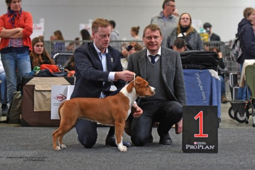 American Staffordshire Terrier Parastone'S Sweet Like Chocolate (Coco) - Karlsruhe'17