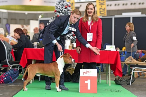 American Staffordshire Terrier Parastone'S Not For Sale (Jackson) - Amsterdam Winner'17