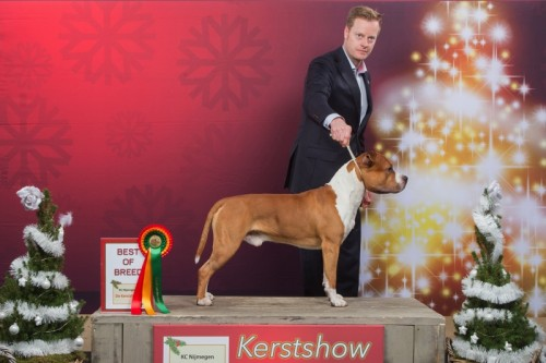 American Staffordshire Terrier  Parastone'S Not For Sale (Jackson) - Gorinchem'17