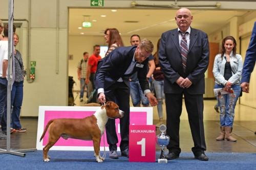 American Staffordshire Terrier Parastone'S Not For Sale (Jackson) - Jackson - Europasieger'18