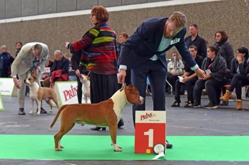 American Staffordshire Terrier Parastone'S Not For Sale (Jackson) - Amsterdam Winner'18