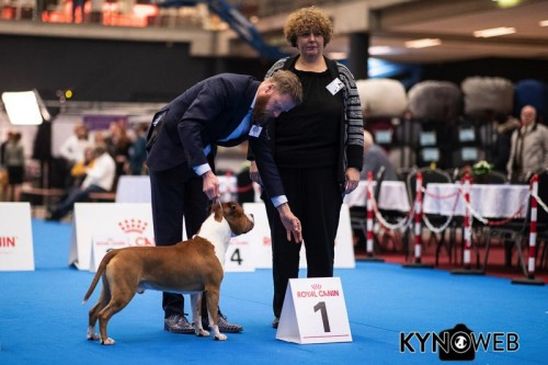 American Staffordshire Terrier Parastone'S Not For Sale (Jackson) - Eindhoven'19