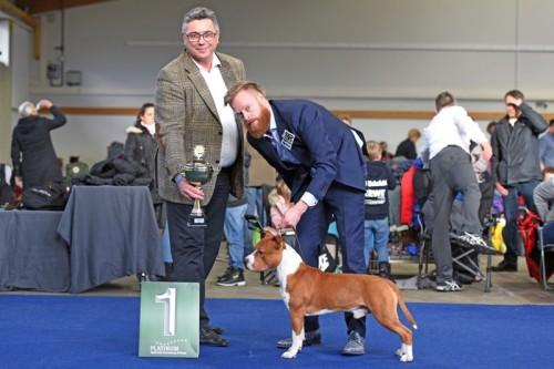 American Staffordshire Terrier Parastone'S Bam Bam Rubbles (Bam Bam) - Kassel'19