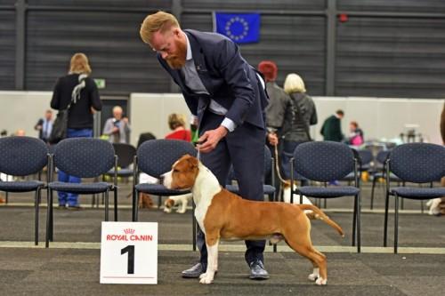 American Staffordshire Terrier Parastone'S What Happens In Vegas (Vegas) - Venray'20