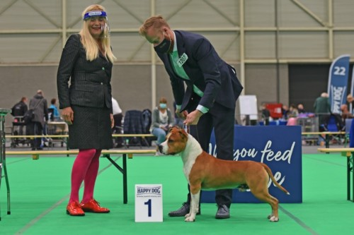 American Staffordshire Terrier Parastone'S What Happens In Vegas (Vegas) - Maastricht '20